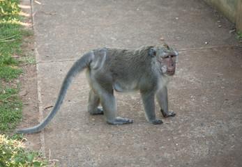 Monkey at Uluwatu, Bali, Indonesia