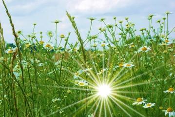 Margeritenwiese mit Lichtspiegelung
