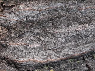 Closeup of Maple Bark Background
