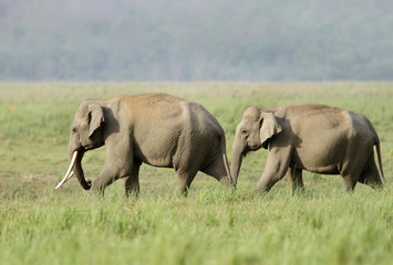 Asiatic elephant in the grassland