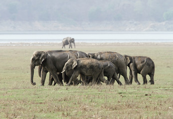 A herd of elephants moving in the grassland