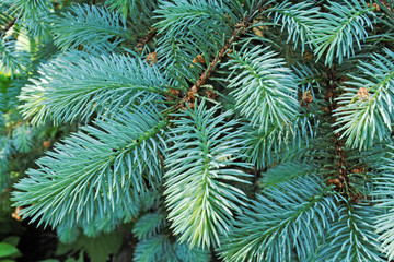 Several brunches of the blue spruce with needles