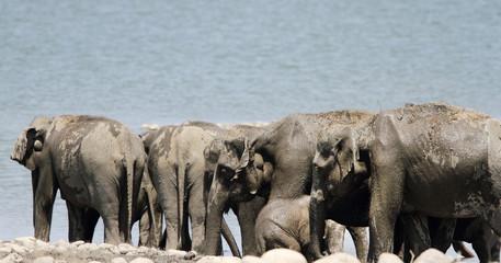 Closeup of a herd of Elephants near Ram Ganga river, Jim Corbett