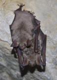 Lesser mouse-eared bat (Myotis myotis) poster