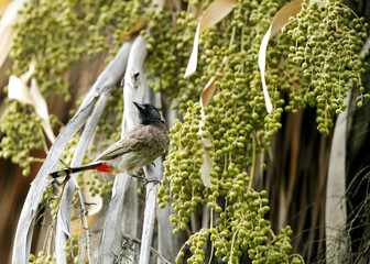 Beautiful red vented bulbul perched on palm dates tree