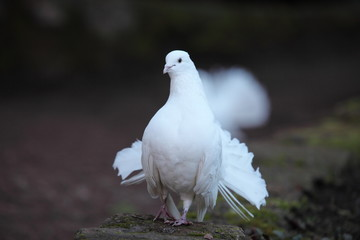 Die weißen Tauben auf der Wartburg