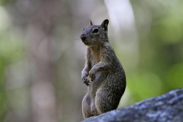 écureuil à Yosemite