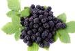 wild berries blackberry