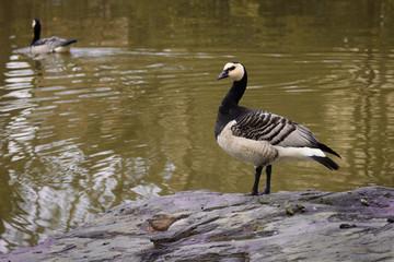 Goose-6319