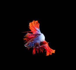 red tail and fin thai siamese betta fighting fish show beautiful