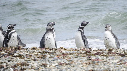 pinguini pinguinera punta arenas 21