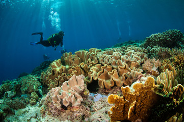 Diver and mushroom leather corals in Banda, Indonesia underwater