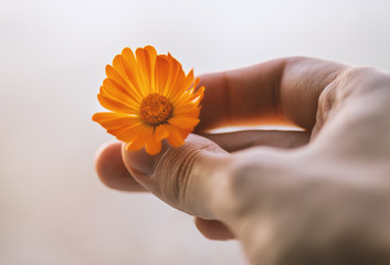 Calendula flower holding in hand. Color toned image.