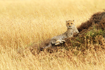 Cheetah Cub on the Masai Mara in Africa