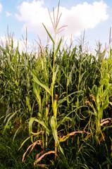 Growing Green Corn Field