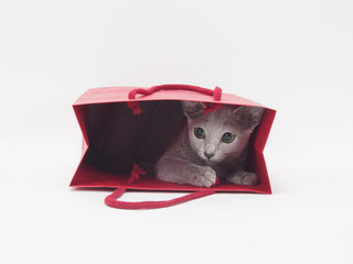 赤い手さげ袋に入ったロシアンブルーの子猫