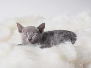 眠るロシアンブルーの子猫