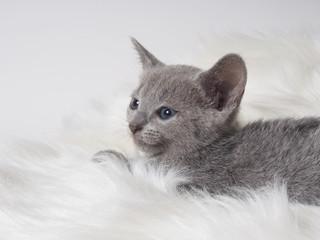 微笑むロシアンブルーの子猫