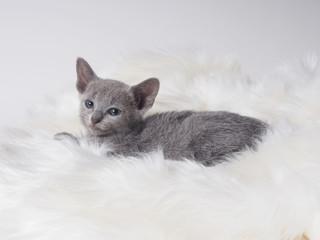 カメラを見るロシアンブルーの子猫