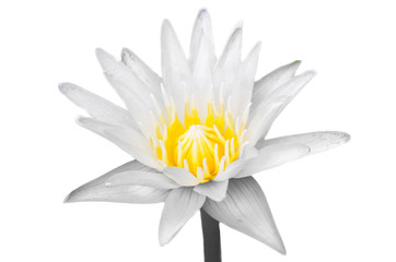 Lotus or water lilly flower