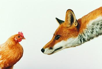 лиса смотрит на курицу