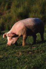 свинья на логу