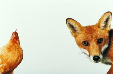 курица и лисица смотрят в камеру