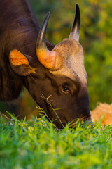 Close up portrait of Wild Gaur  eating grass