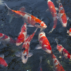 Red Japanese carp fish