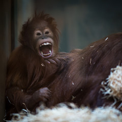 Stare of an orangutan baby, hanging on thick rope. A little grea