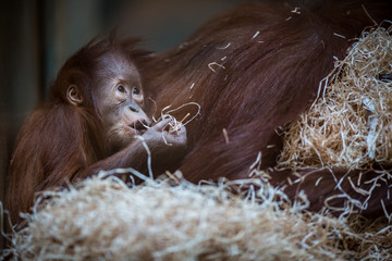Stare of an orangutan baby, hanging on thick rope