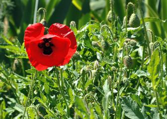 poppy flower on green field