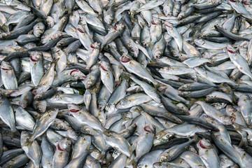 Fresh fish into ice