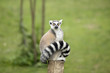Lemur sitting on a log funny staring fixed gaze big eyes