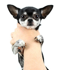 Chihuahua isolated on white background..