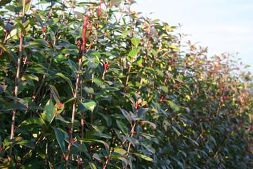 siepe di Pyracantha_ giardino