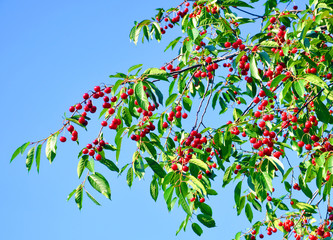 cherry tree branches with red berries