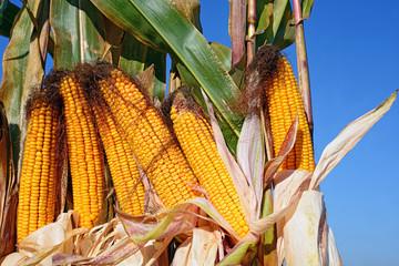 Ripe corn.