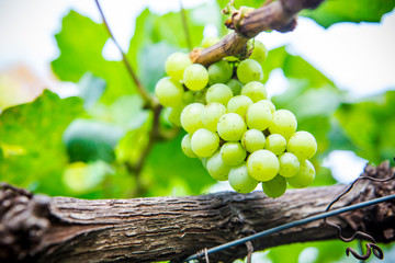 Branch of green grapes on vine in vineyard