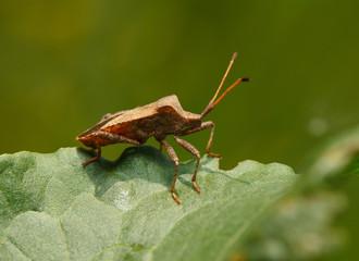 Squash bug on sorrel leaf