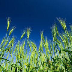 Ripe wheat on blue sky background. Agriculture scene