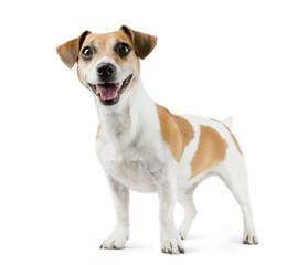 Dog Jack Russell Terrier in full length