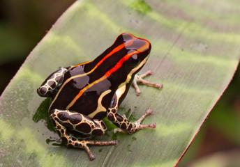 Amazon poison frog Peru