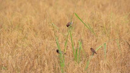 Birds in the rice fields (Lonchura punctulata)