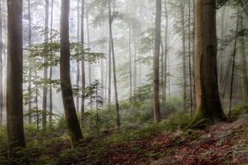 Foggy Summer Forrest