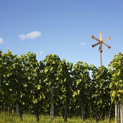 Vineyard background