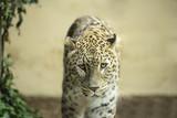 Lonely Leopard sad eyes captivity
