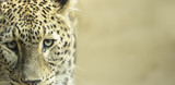 Leopard sad eyes captivity close up