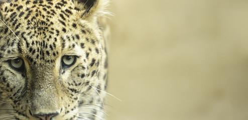 Leopard sad eyes captivity close up