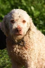 cane da tartufo ricerca tubero pregiato